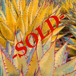 100Illusive Agave Sold