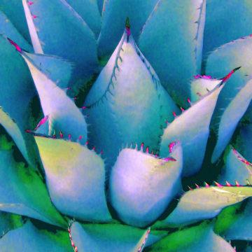 Agave Lotus Blue