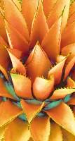 Agave Lotus Orange