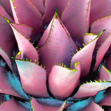 Agave Lotus Pink