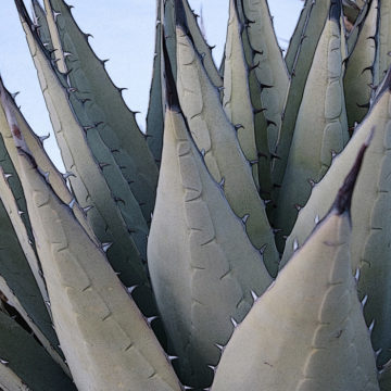 Agave Morning