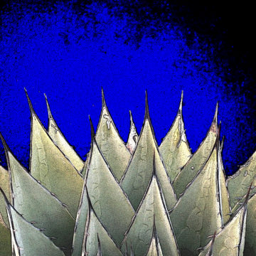 Agave in the Spotlilght