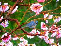 Blue Marauder