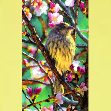 Dandilion and Cherry Blossom