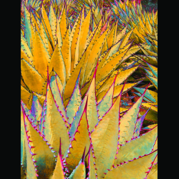Illusive Red Thorned Agave Framed