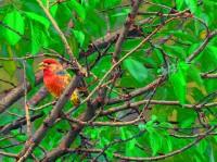 Parrot Finch