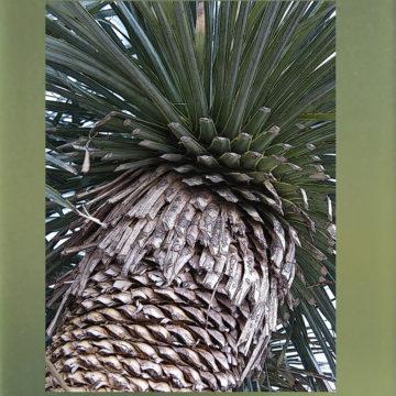 Yucca 2549 Framed