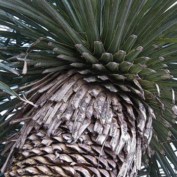 Yucca Elegance