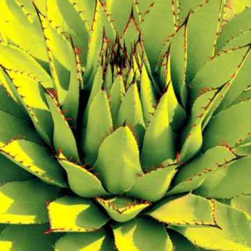 abbate Agave-Lotus-Unfolding-Green