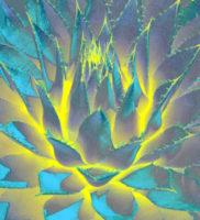 abbate agave lotus unfolding inner light