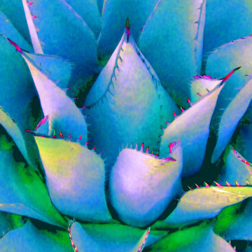 Agave Lotus Blue II