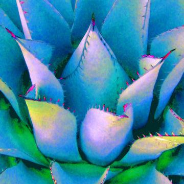 Agave Lotus Blue II