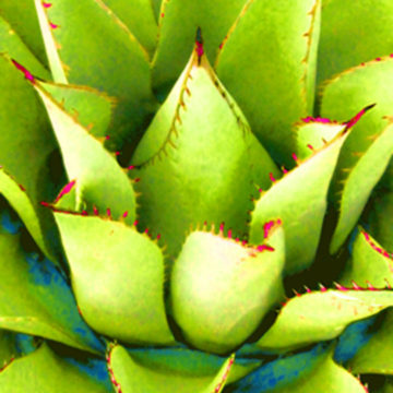 Agave Lotus Green II