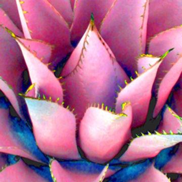 Agave Lotus Pink II