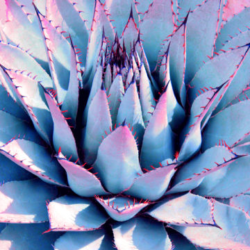 Agave Lotus Unfolding Blue II