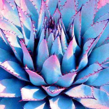 Agave Lotus Unfolding Blue III